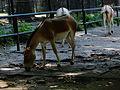 Equus hemionus kulan in Kraków Zoo II.JPG