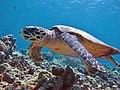 Eretmochelys imbricata Maldives.JPG
