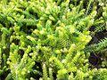 Erica carnea Botanical Garden Heidelberg.JPG