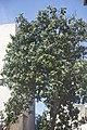 Eriobotrya japonica-2081.jpg