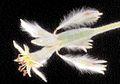 Eriogonum longifolium gnaph.jpg