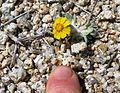 Eriophyllum wallacei (woolly daisy) - Flickr - brewbooks.jpg