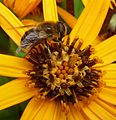 Eristalsis tenax. Syrphidae. - Flickr - gailhampshire.jpg