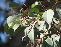 Eucalyptus polyanthemos vestita foliage
