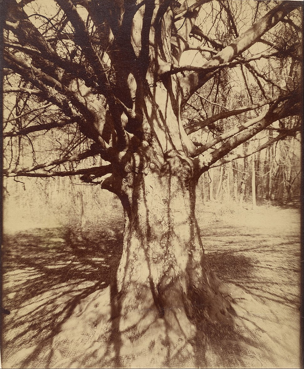 Eugène Atget - Beech Tree - Google Art Project