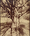 Eugène Atget - Beech Tree - Google Art Project.jpg
