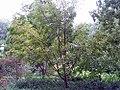 Euonymus japonica 0zz.jpg