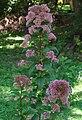Eupatorium dubium 'Little Joe' Plant.jpg