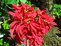 EuphorbiaPulcherrima.JPG