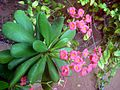 Euphorbia Flower show 12.JPG