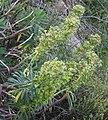 Euphorbia characias RF.jpg