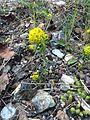 Euphorbia cyparissias IMG 0175 priboj.JPG