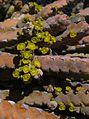 Euphorbia debilispina 02.JPG