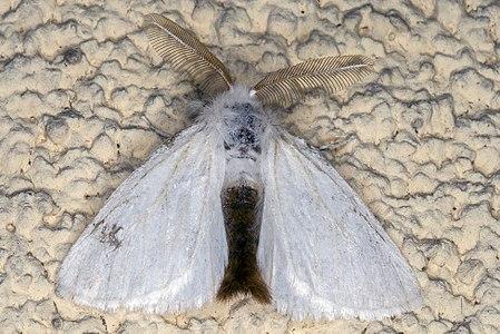Euproctis chrysorrhoea 01(js) Lodz(Poland).jpg