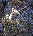 Eurasian Spoonbills (Platalea leucorodia) adult with chicks (20548440708).jpg