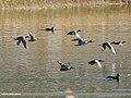 Eurasian Wigeon (Anas penelope), Common Teal (Anas crecca), Gadwall (Anas strepera), Northern Pintail (Anas acuta) & Northern Shoveler (Anas clypeata) (23909164148).jpg