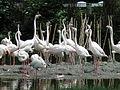Europese flamingo.JPG