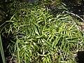 Eustephus foliage.jpg