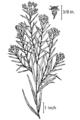 Euthamia graminifolia NRCS-002.png
