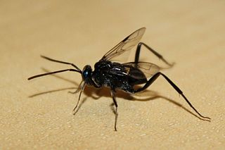 <i>Evania appendigaster</i> species of insect