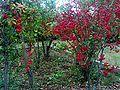Evonimus europaeus Plants DehesaBoyalPuertollano.jpg