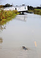 FEMA - 38326 - Alligator on a flooded road in rural Texas.jpg