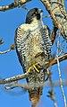 Falco peregrinus f Humber Bay Park Toronto.jpg