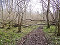 Fallen tree, Knighton Wood - geograph.org.uk - 711268.jpg