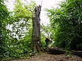 Fallen tree - geograph.org.uk - 495916.jpg