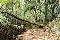 Fallen tree Santoña.jpg