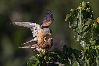 Lesser kestrel - Lesser kestrels mating