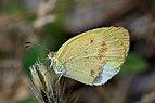 False barred sulphur (Eurema elathea elathea) female.JPG