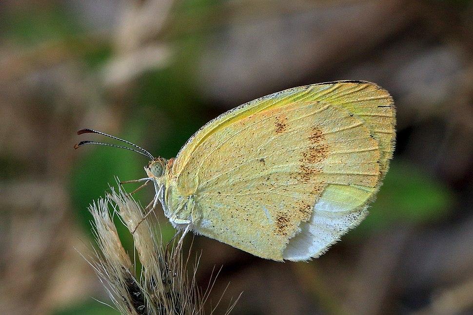 False barred sulphur (Eurema elathea elathea) female
