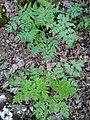 Familija Apiaceae 01.jpg