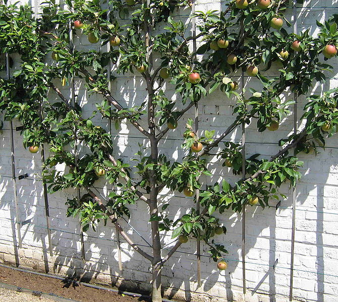 Fan pruned fruit tree