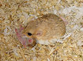 Fattailedgerbils10-PeterMaas.jpg