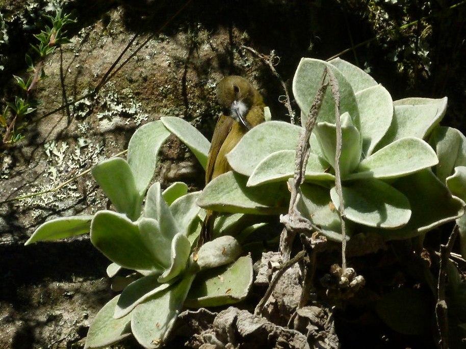 Female Anthobaphes