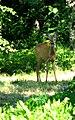 Female Roe Deer in Saaremaa.jpg