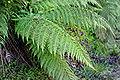Herbatika-lekovito bilje  - Page 2 120px-Fern02