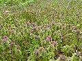 Field of red dead-nettle (Lamium purpureum).jpg
