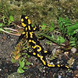 La salamandre commune