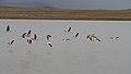 Flamingos (40111628873).jpg