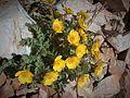 Fleur en Vanoise (29).JPG