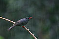 Flickr - Rainbirder - Square-tailed Black Bulbul ( Hypsipetes ganeesa humii) in the rain.jpg