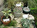 Flickr - brewbooks - Fritillaria sewerzowii, Saxifraga x kellereri (Suendermannii).jpg