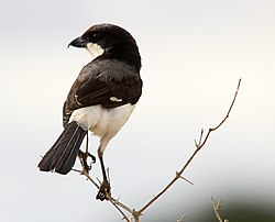Flickr - don macauley - Long-Tailed Fiscal.jpg