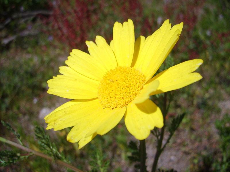 File:Flor manzanilla amarilla.JPG