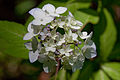 "Flower, Hydrangea ""Maiko"" - Flickr - nekonomania (2).jpg"