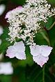 "Flower, Hydrangea ""Nadeshi-Gaku-Ajisai"" - Flickr - nekonomania.jpg"
