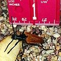 Flower Long-horn Beetle, Leptura emarginata (524201934).jpg